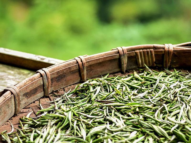 Hương vị núi rừng Tây Bắc trong chén trà Shan tuyết cổ thụ